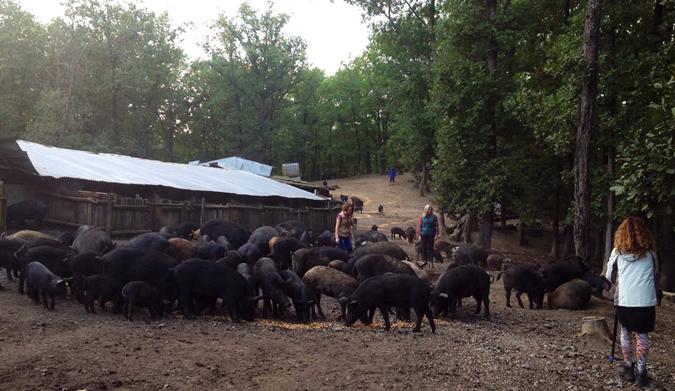 Γνωρίστε τον Μαύρο Χοίρο της «Φάρμας Γ. & Μ. Τσουκαλά»