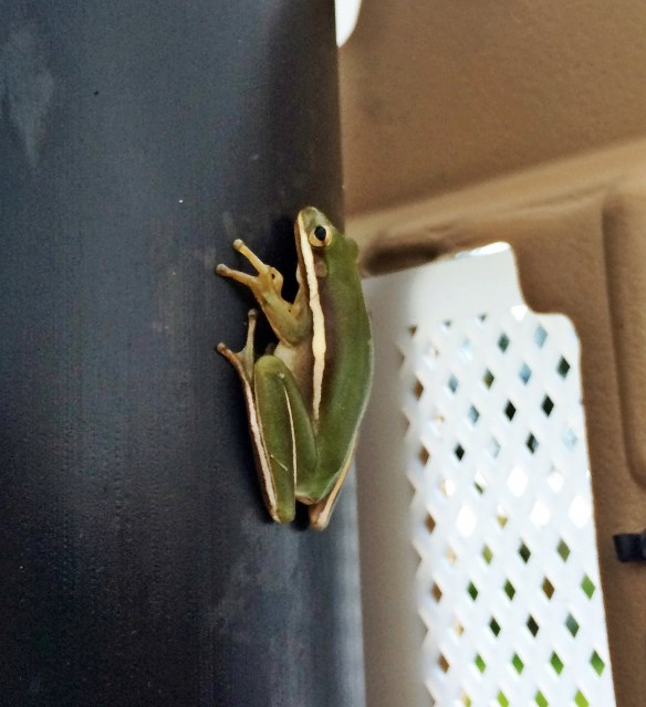 frog cbbr