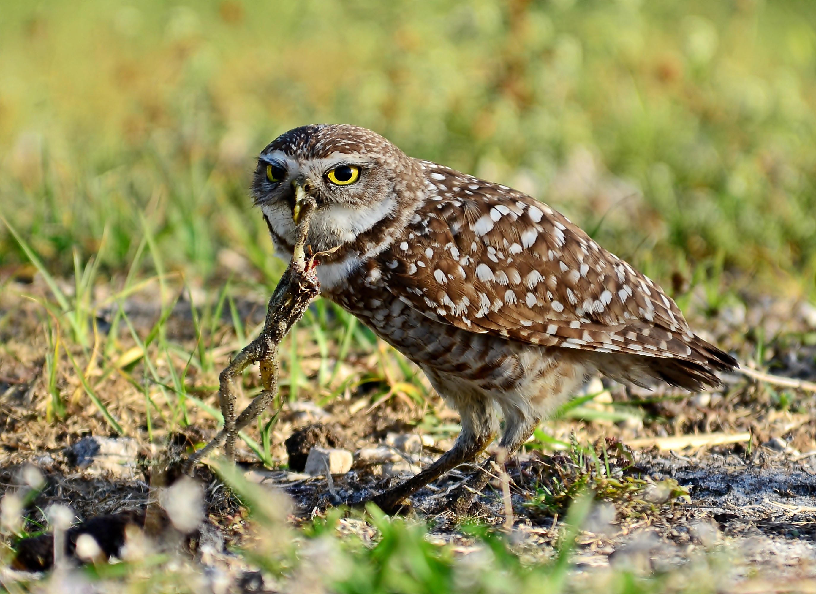 Breakfast With The Burrowing Owls