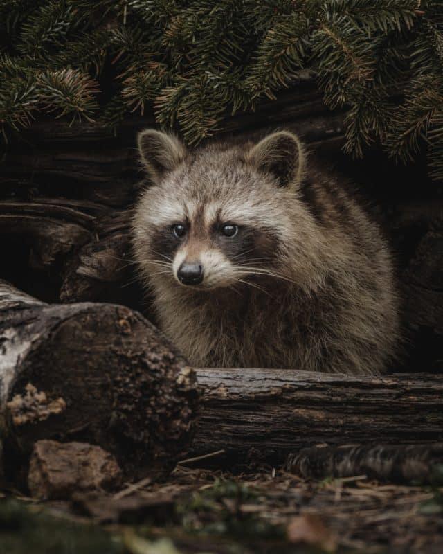 foto keren untuk profil whatsapp instagram telegram tiktok facebook line hewan lucu rakun coklat fluffy di hutan di atas kayu pohon yang tumbang