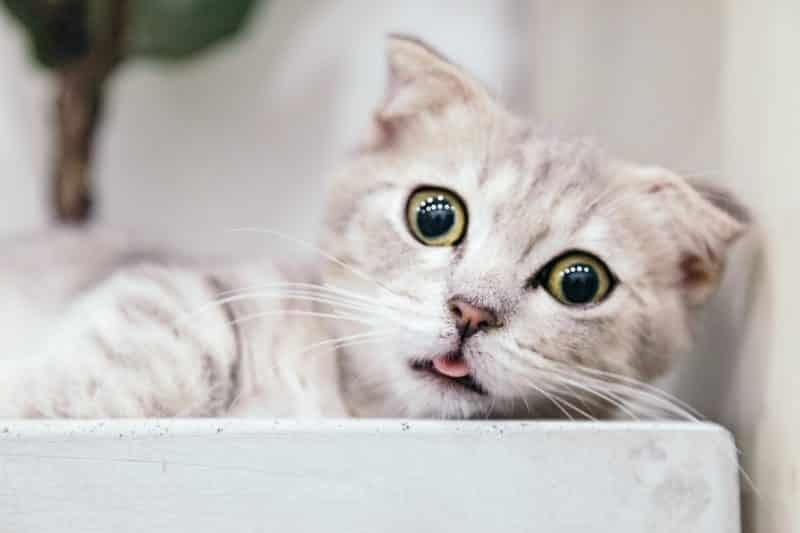 foto keren untuk profil whatsapp instagram telegram tiktok facebook line hewan lucu kucing putih abu-abu close up melotot dan mengeluarkan lidah/melet
