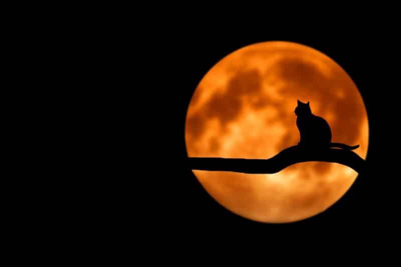 foto keren untuk profil whatsapp instagram telegram tiktok facebook line siluet kucing di dahan dengan background bulan besar berwarna orange kuning keemasan