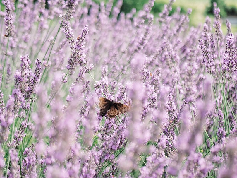Butterfly on French lavender plants