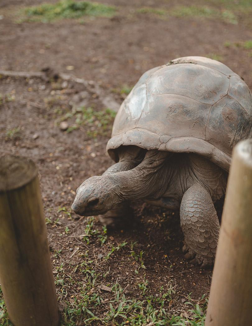 Giant tortoise Chamarel Mauritius