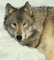 Act now to end the cruel wolf hunt in Alaska