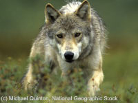 Please sign the petition to help protect Yellowstone wolves from this brutal practice.