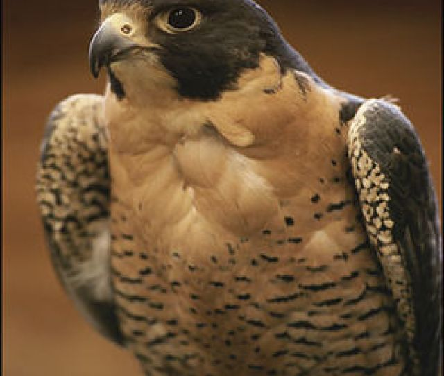 Peregrine Falcon The Fastest Animal On The Planet