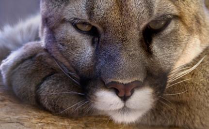 Mountain Lion Shooting Sparks Outrage