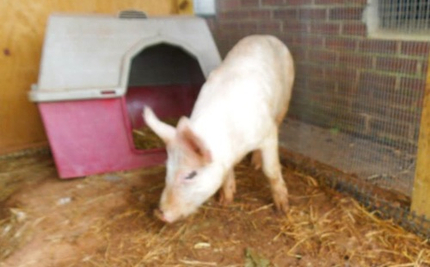"""Uproar at South Carolina School After """"Pig Rodeo"""" Sends Students Fleeing in Tears"""