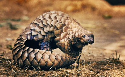 We're Eating Pangolins Off the Face of the Earth