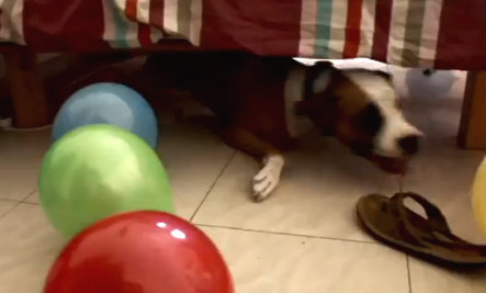 Ecstatic Dog Loves Birthday Party Balloons (Video)