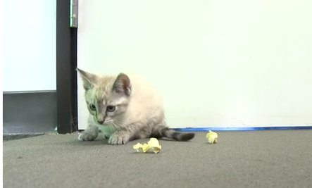 Kitten Loves Tiny Paper Balls (Video)
