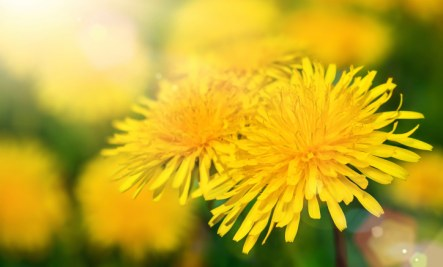 Coming soon to a lawn or a garden near you! Dandelion roots and leaves feed the liver and help assist cleansing.
