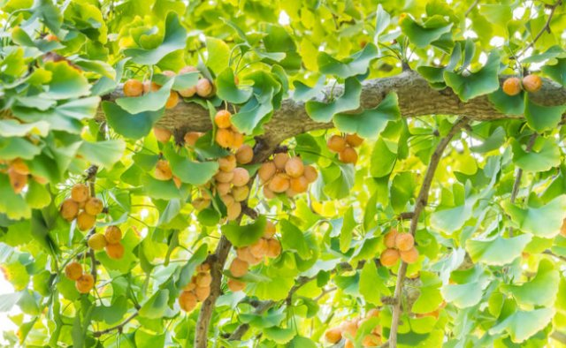 Ginkgo with fruit
