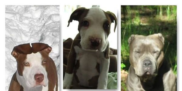 Prevent a discriminating ban against Pitbulls in Medford OR