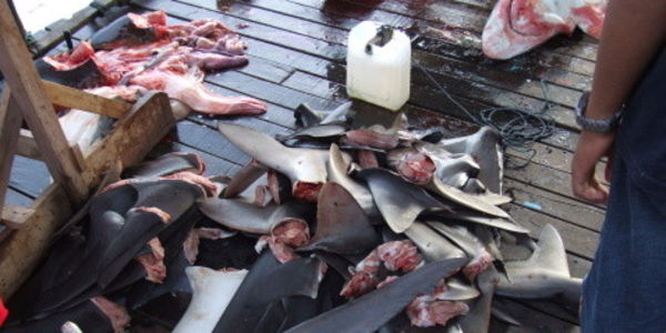 Urge Ecuador to Take Urgent Action to Stop the Catastrophic Levels of Shark Killings