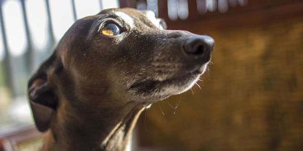 Urge the Australian Government to Ban Scientific Research Experiments on Dogs