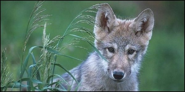 Ban Aerial Wolf Hunting in Washington