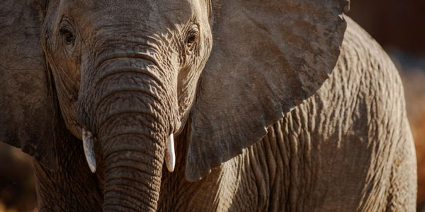 Mozambique - Stop the Terrorist-Funding Elephant Massacre
