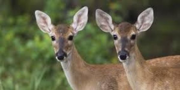 STOP THE CRUEL KILLING OF DEER IN OUR PARKS