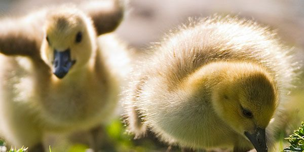 Demand justice for baby ducklings thrown into a mincer at a foie gras factory