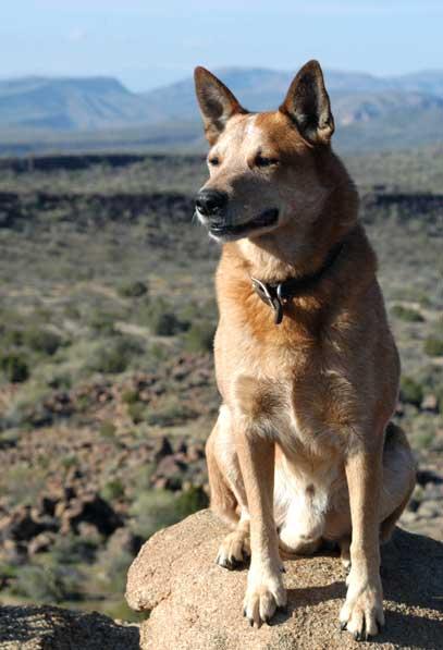 Dingo Surveying Arizona