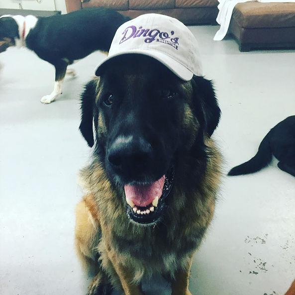 dingos dogsitting hat
