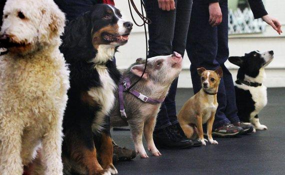 pig training