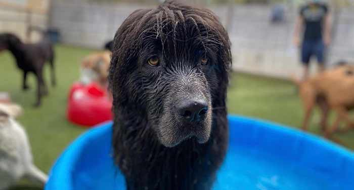 large furry dog in a wading pool