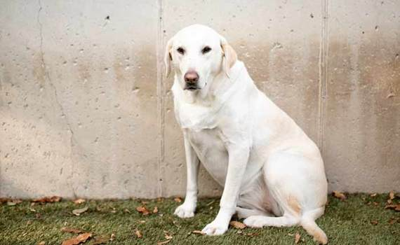 white lab sitting by a fence in the yard
