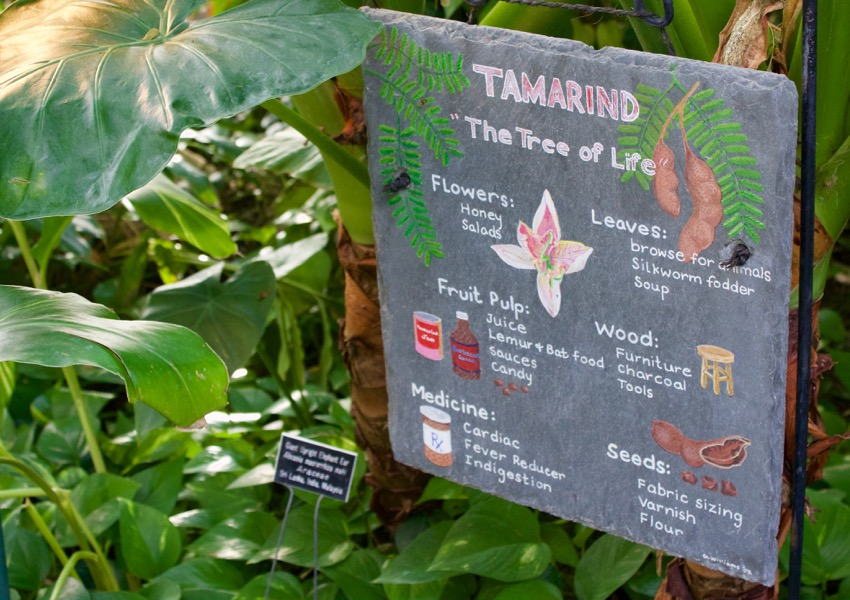 tamarind historical facts