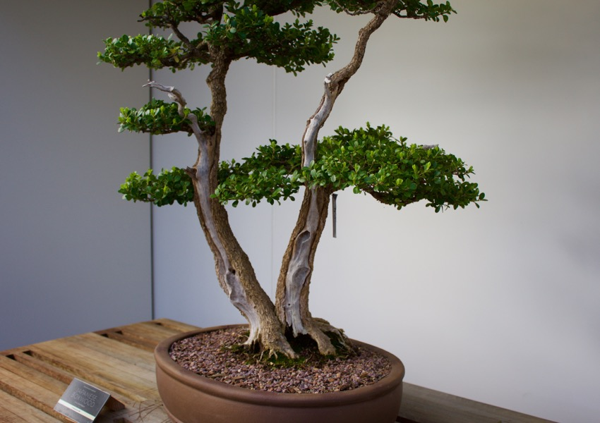 japanese boxwood