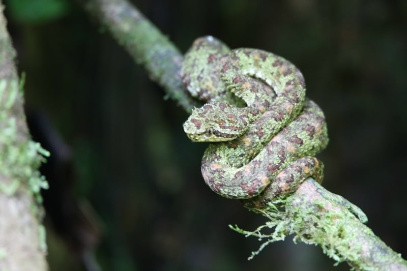 Pit Viper in Cocorvado National Park