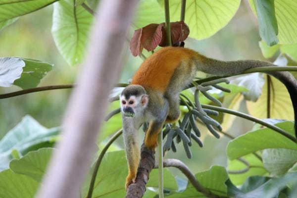 Squirrel Monkeys in Costa Rica