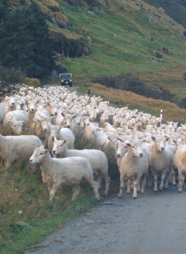 New Zealand is full of sheep!