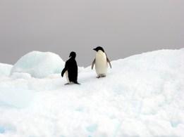 Pingüinos de Adelia - Antártida