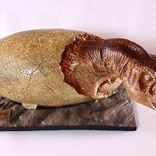 S24.5166 Dinosaurier-Baby (T-rex), aus dem Ei schlüpfend