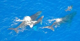 Southern right whales and their babies,spotted in the coral sea as we flew in to the reef