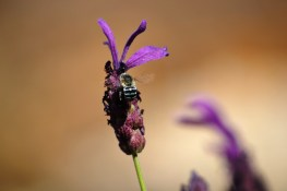 Lavender attracts the electric blue banded bee