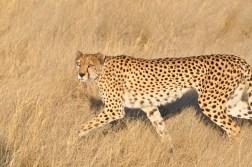 cheetah-park-nambia-134