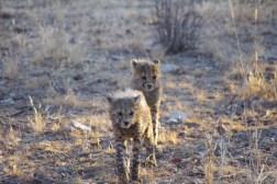 cheetah-park-nambia-459