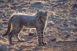 cheetah-park-nambia-460