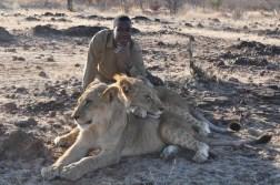 zimbabwe-lion-walk-132