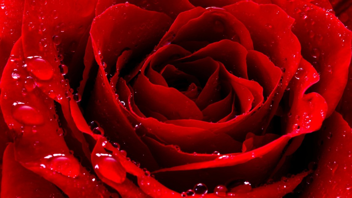 Rose-wallpaper 1