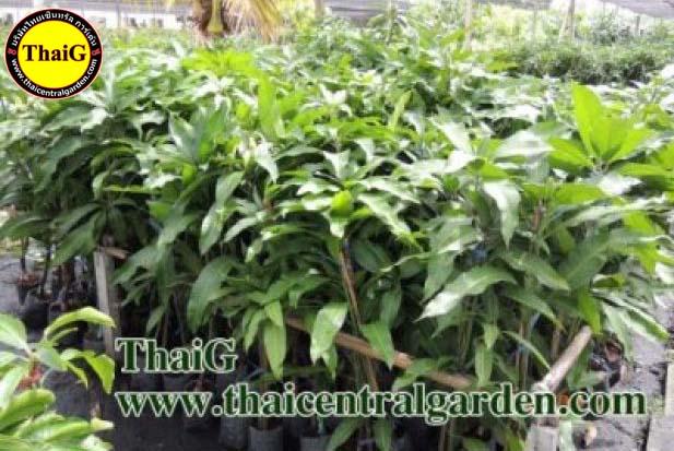 กิ่งมะม่วงสวน ThaiG