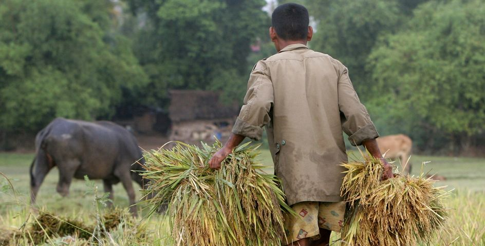 A Cambodian man carries rice at a paddy rice farm in Bekpeang village, Kampong Cham province.