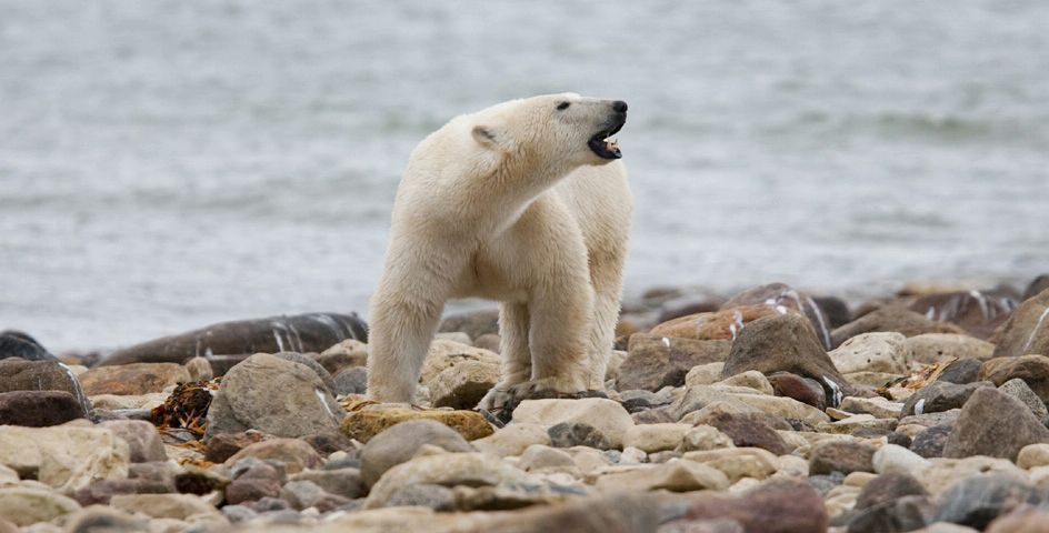 A male polar bear walks along the shore of Hudson Bay in Manitoba, Canada.