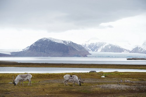 Two reindeer graze against a glacial backdrop on June 16, 2016, as U.S. Secretary of State John Kerry and Norwegian Foreign Minister Borge Brende visit an Arctic research station in Ny-Alesund, Norway, the northernmost civilian settlement in the world, and before tour the nearby Blomstrand Glacier. [State Department photo/ Public Domain]
