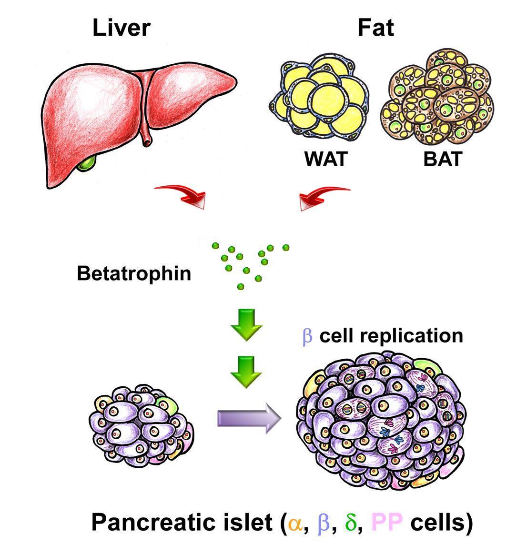 More Beta Cells More Insulin Less Diabetes Nih Directors Blog