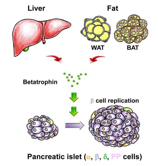 Artist redition of a liver, WAT fat, and BAT fat cells combining with green dots representing betatrophin combining to induce pancreatic cells